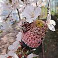 桜のハンモック